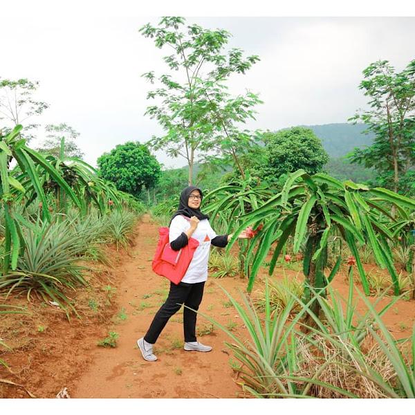 Keseruan Memetik Buah Naga di Kebun Indonesia Berdaya