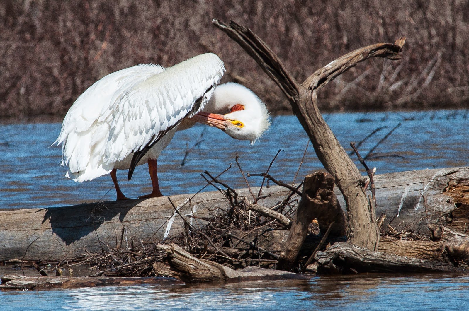 American White Pelican, Hagerman Wildlife Refuge