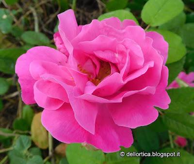 Rosa gallica officinalis orto erbe officinali confetture tisane sali aromatici ghirlande lavanda alla fattoria didattica dell ortica a Savigno Valsamoggia Bologna in Appennino vicino Zocca