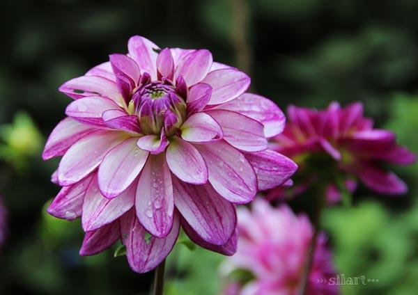 Septemberblüten, lila Blüte