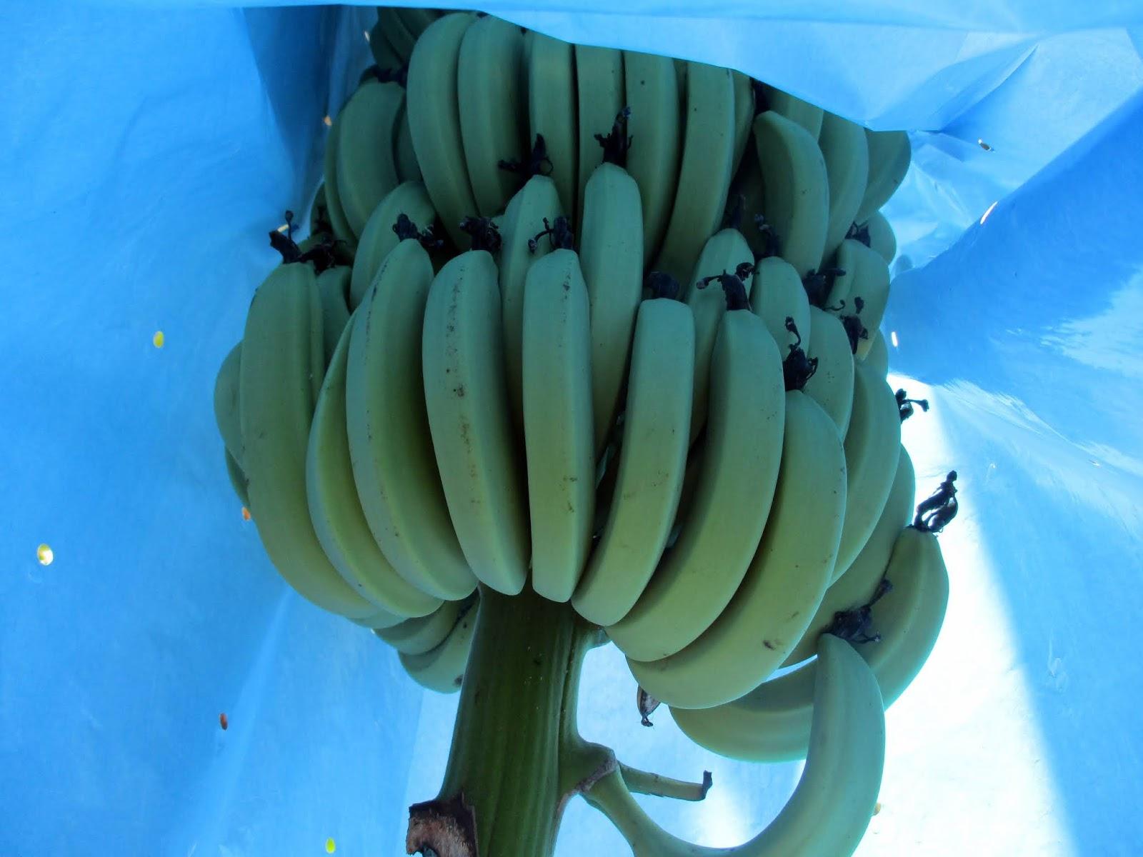 божья коровка как растут мини бананы фото элитных домов являются