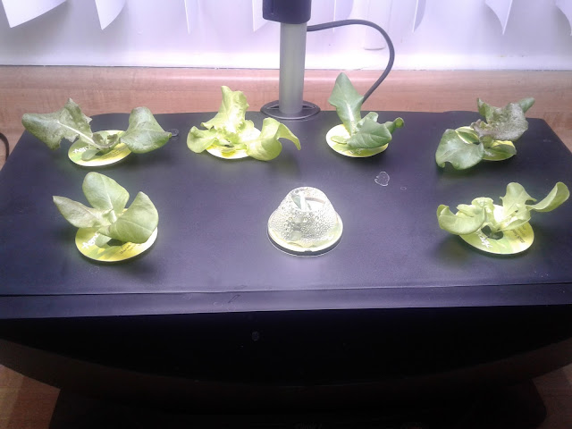 Aerogarden salad 14 days