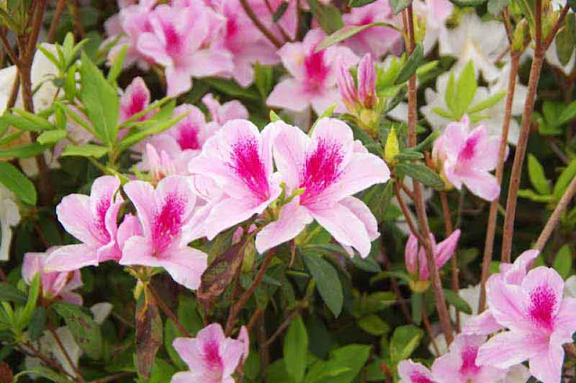 pink and white flowers, azaleas, leaves, buds