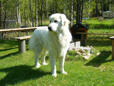 Pyrenean Sheep Dog (Pyrenean Mountain Dog)