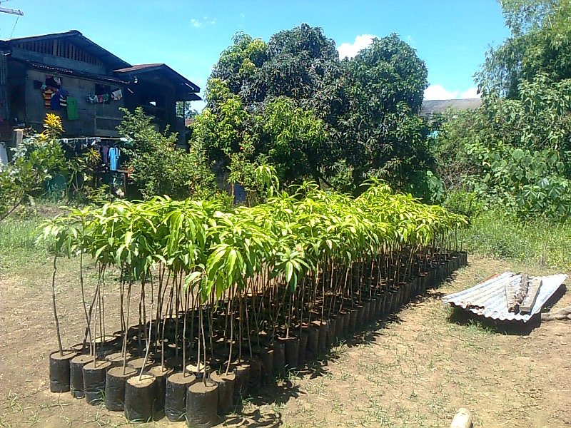 Mature peach trees for sale