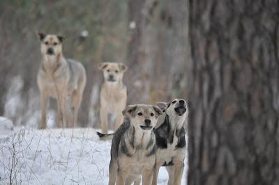 Собаки в сосновом бору