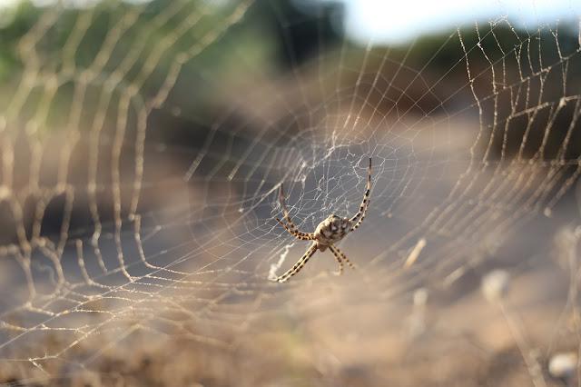 Araña con su tela