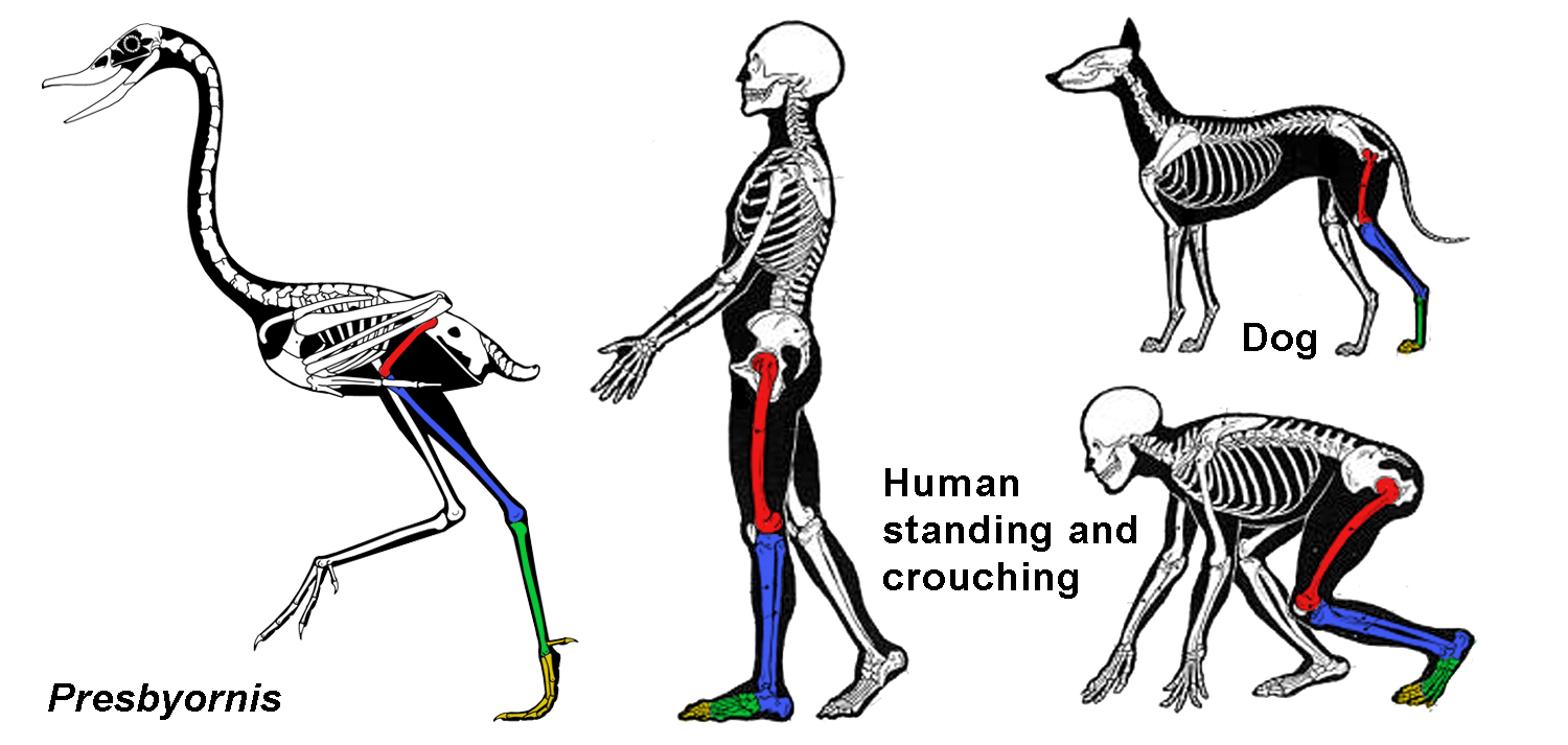 hight resolution of presbyornis copyright scott hartman other skeletals modified after charles knight