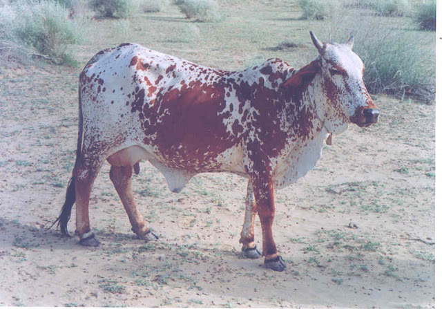 Rathi  AVERAGE YIELD 5-6 kg | POTENTIAL 20-25 kg  Mostly found in Bikaner and Ganganagar districts of  Rajasthan and parts of Punjab, adjoining to Rajasthan.  These are medium-sized animals with short horns,  Photo: