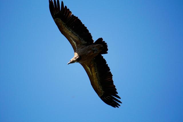 Un buitre volando sobre nuestras cabezas