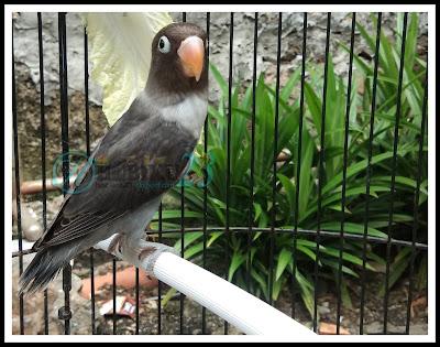 Burung love brid jenis burung kicauan yang hingga ketika ini semakin banyak penggemarnya Cara Melatih dan Merawat Love Brid Balibu
