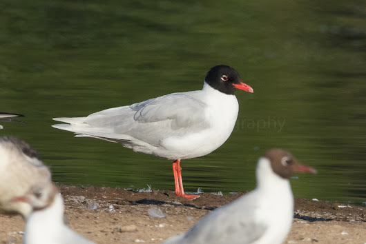 More Med Gulls and Waders