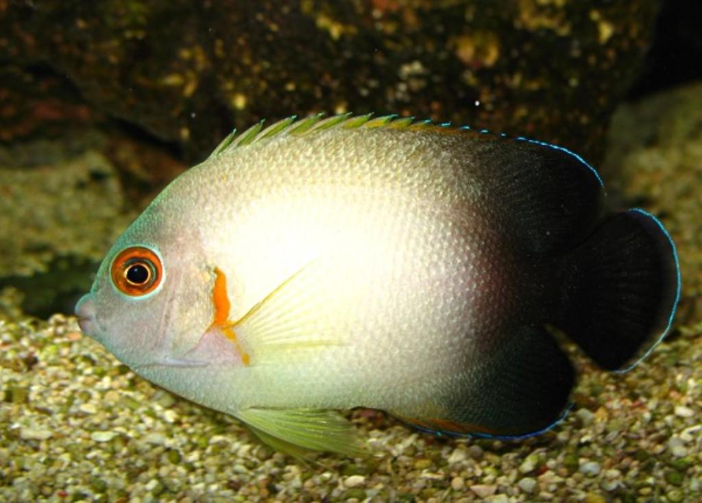 Fish Pictures: Half-black angelfish - Centropyge vroliki