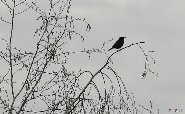 Moineau sur une branche de bouleau