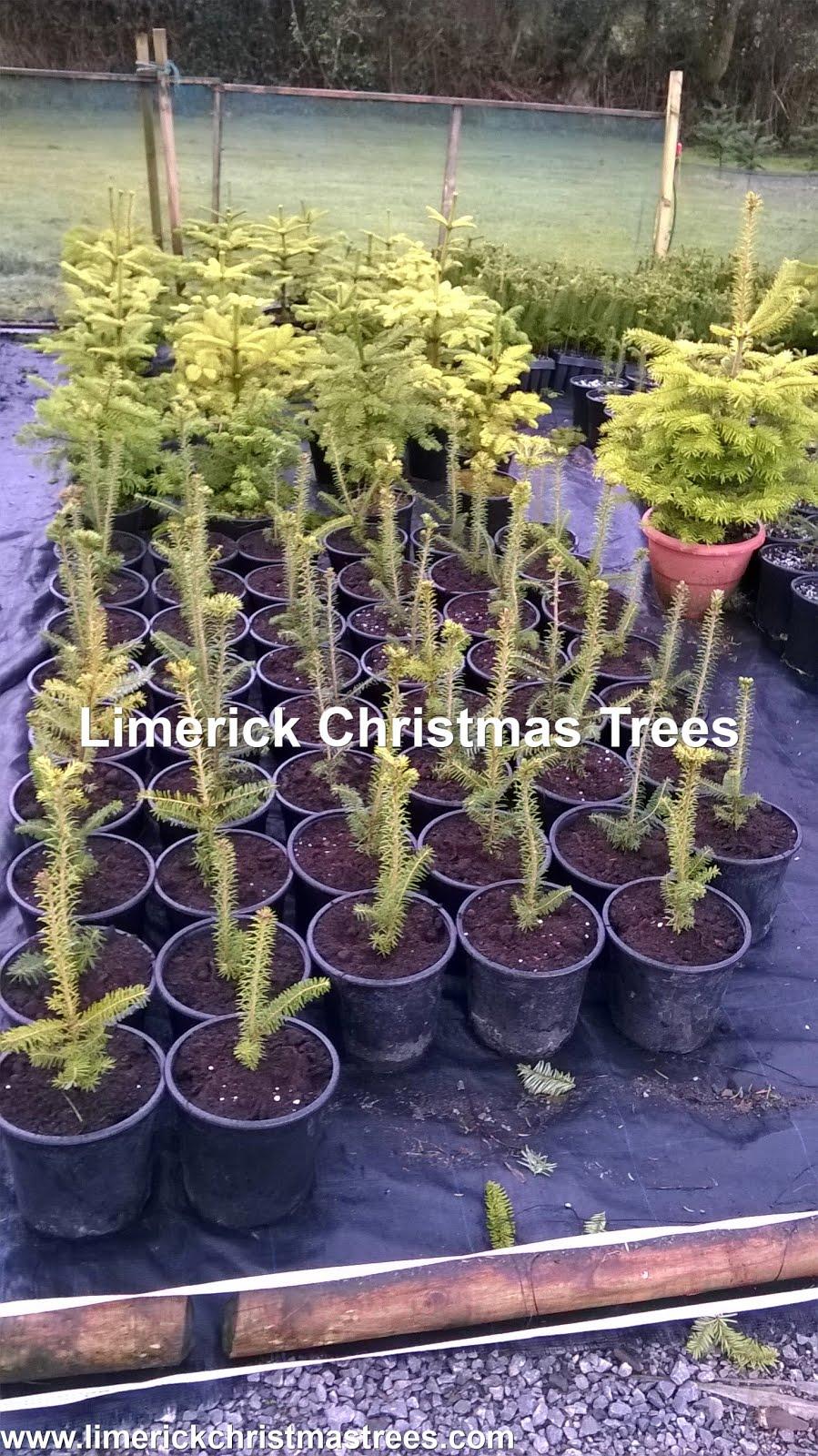 Limerick Christmas Tree Centre: Pot Growing Christmas Trees