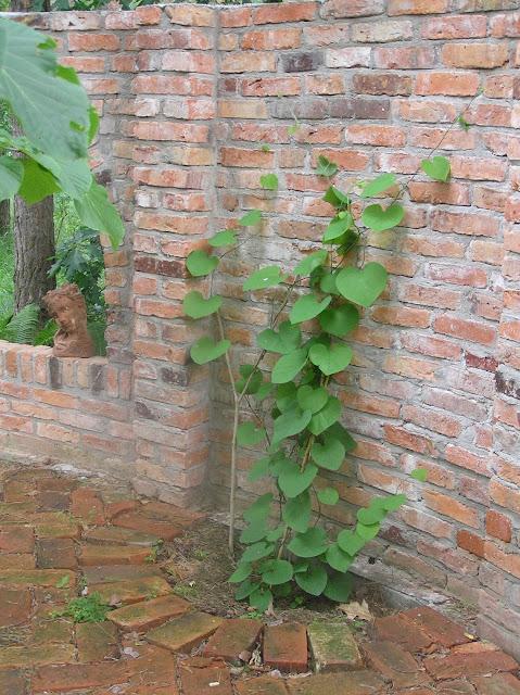 pnącza, kokornak młody na murze