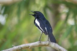 Tips Mendownoad Suara Burung Kacer Gacor Untuk Masteran