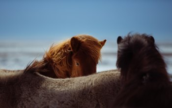 Wallpaper: Horses in Iceland