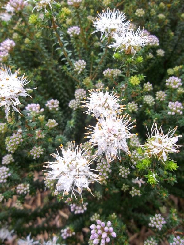 Agathosma ciliaris - close up of flowers