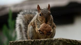 Wallpaper: Squirrels
