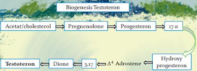 alur biogenesis testoteron