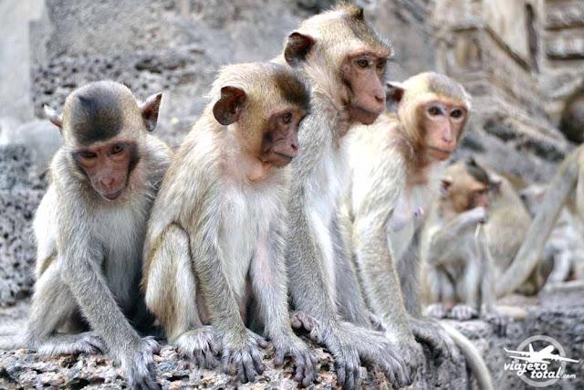 Phra Prang Sam Yod Lopburi Tailandia monos