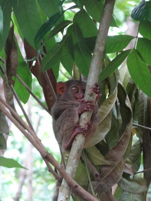 BOHOL : Loboc Tarsier Sanctuary / Philippines : 3 jours à BOHOL / www.by-laura.fr