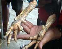 sisik kaki ayam aduan