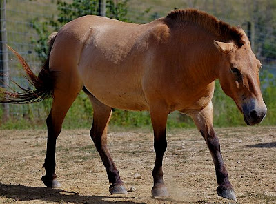 Amazing facts About Przewalski's Horses