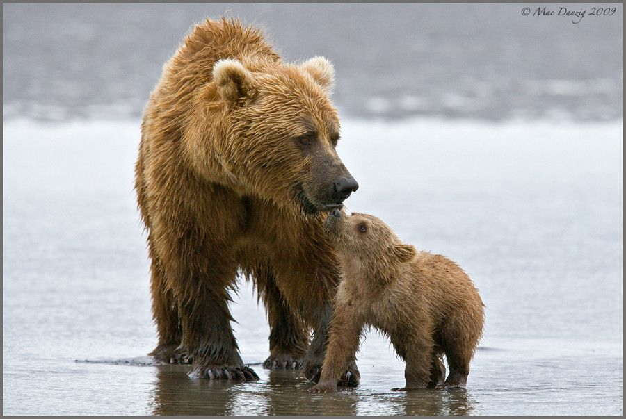 21. Mother and Cub by Mac Danzig