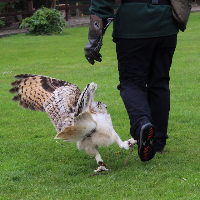 European Eagle Owl asking for attention