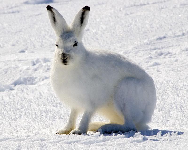 THE TUNDRA!: Arctic Hare