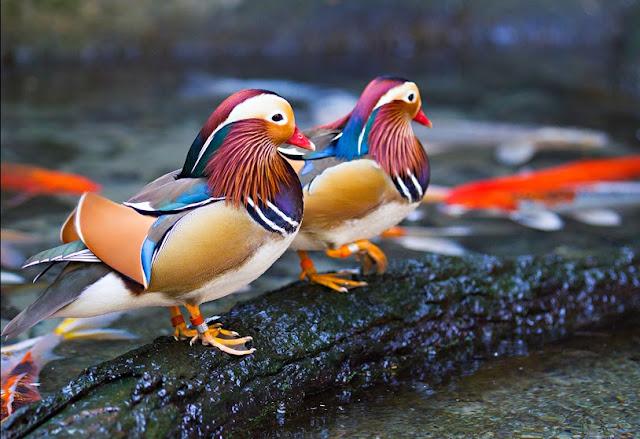 O Pato-mandarim (Aix galericulata), marreco-mandarim ou apenas mandarim, é um pato de médio porte. Mede de 41 a 49 cm de comprimento, com uma envergadura de 65 a 75 cm.