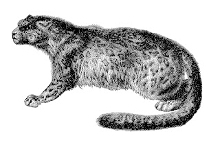 snow leopard ounce cat image antique illustration download