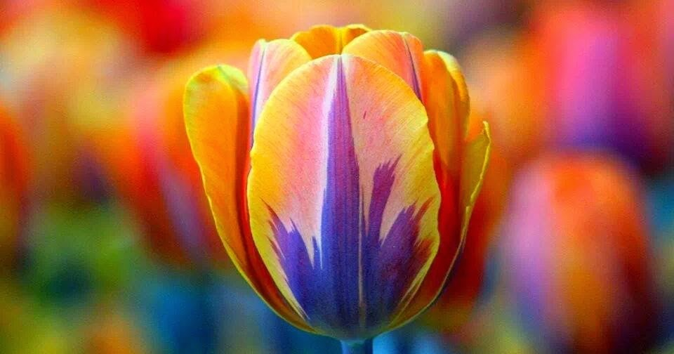 colorful tulip flowers - photo #46