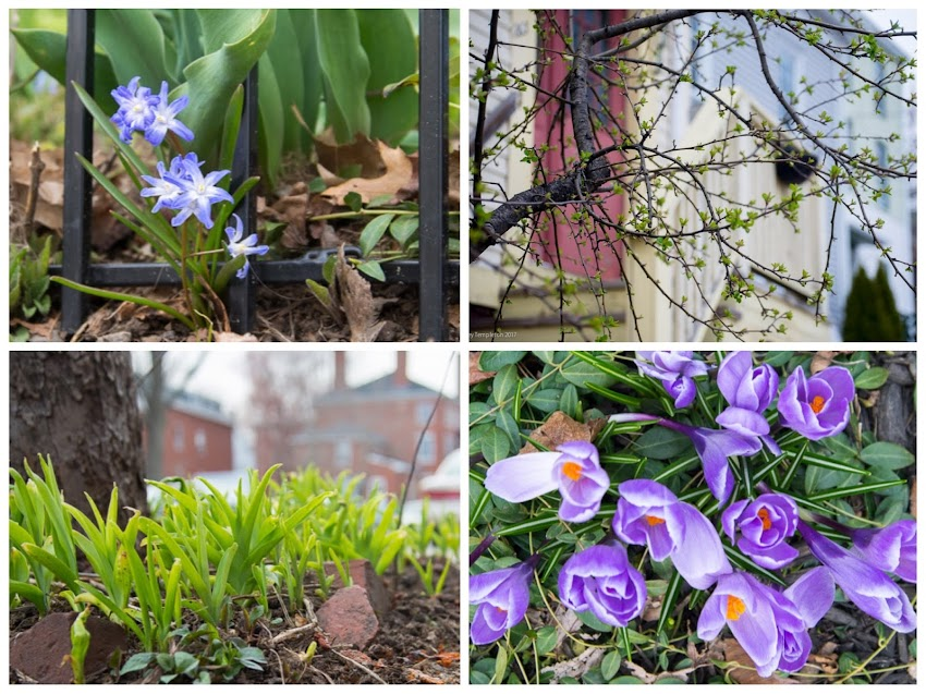 Portland, Maine USA Photos by Corey Templeton. Some little signs of spring in the West End of Portland April 2017.