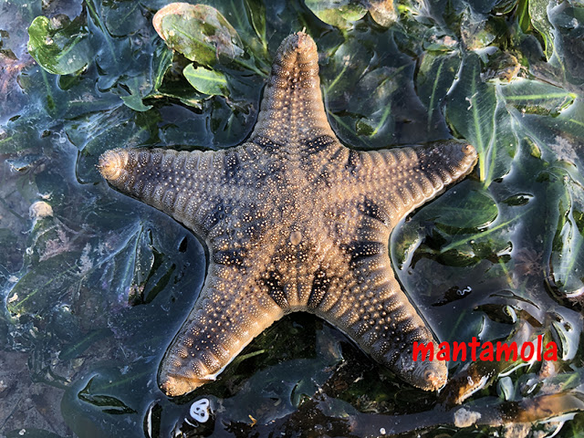 Biscuit sea star (Goniodiscaster scaber)