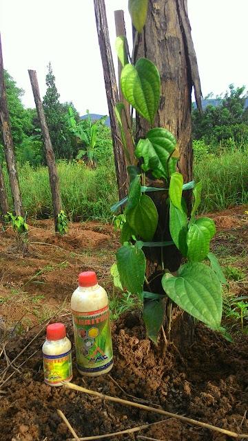 Pupuk Organik Cair Agritech Untuk Tanaman Lada