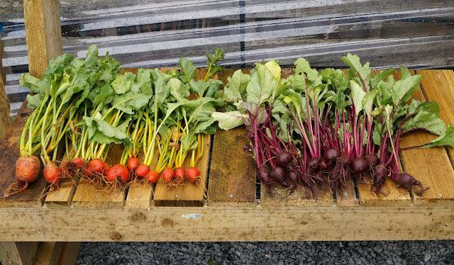 yellow and red beetroot thinnings - 'growourown.blogspot.com' ~ an allotment blog