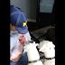 Dos perros bóxer le dan una calurosa bienvenida al nuevo miembro de la famila