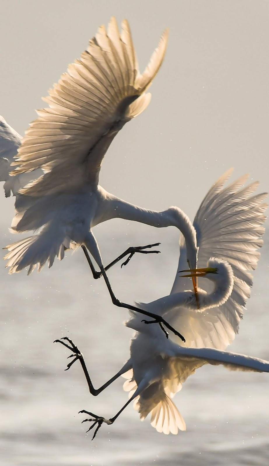 Two egret's epic battle.