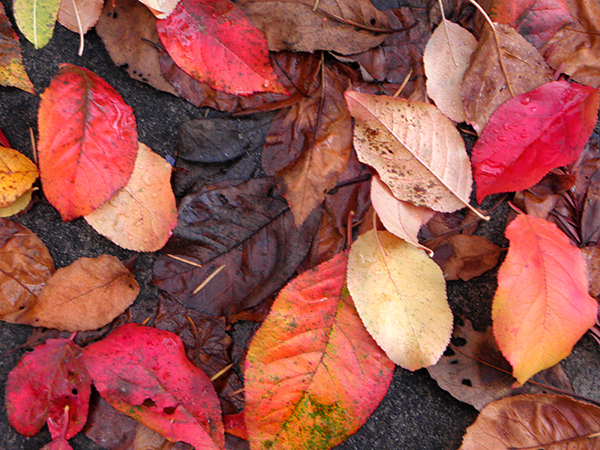 Multicolored Plum Leaves on the Ground