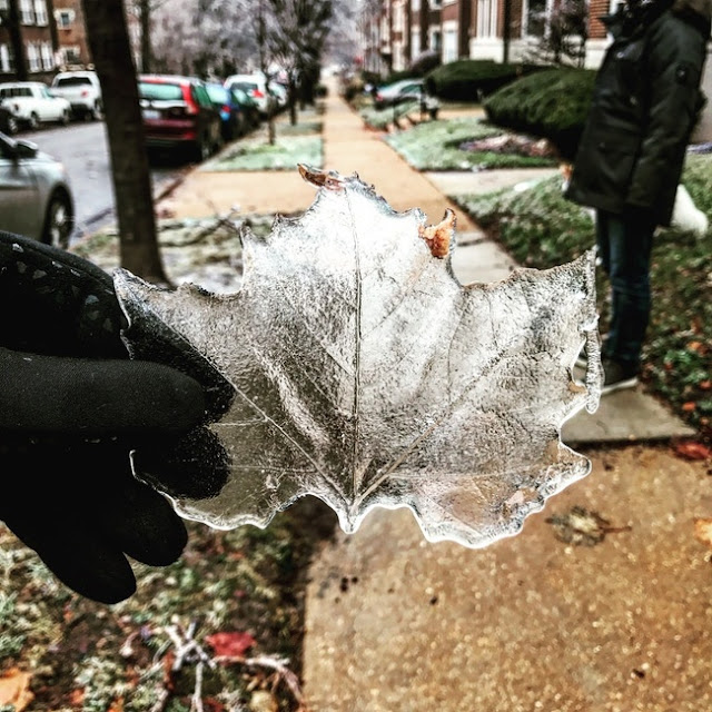 .Ice taken from a leaf after an ice storm in St. Louis.