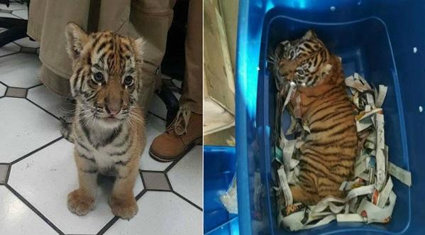 GAMBAR.. Anak Harimau Dibungkus Dalam Plastik Dan Hampir Dipos Laju Raih Simpati Netizen