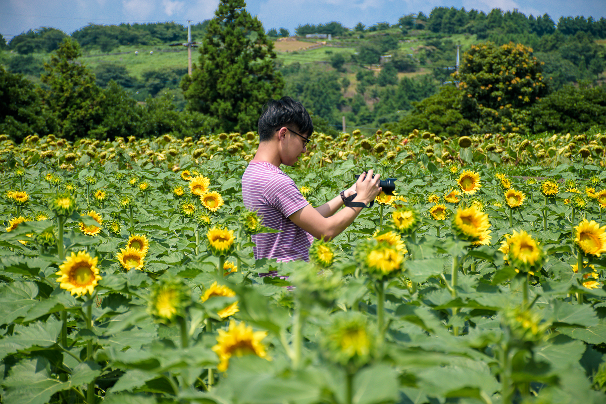 korea summer outfit sunflower field jeju korea