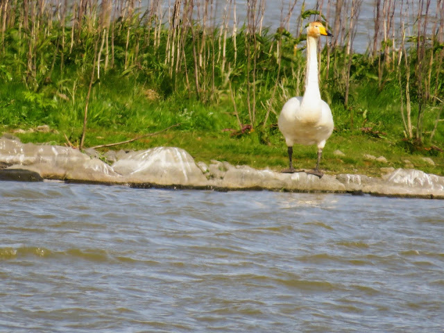 Whooper swan spotted on a walk in Reykjavik Iceland