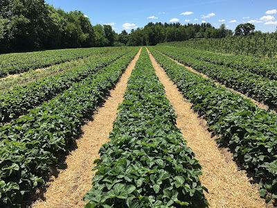 Φράουλα: καλλιέργεια