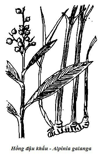 Hình vẽ cây Hồng đậu khấu - Alpinia galanga - Nguyên liệu làm thuốc Chữa Bệnh Tiêu Hóa