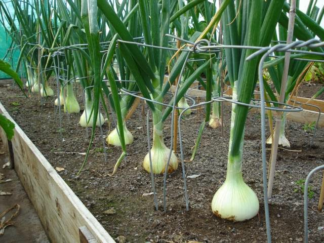 White bulb onions growing in a raised bed