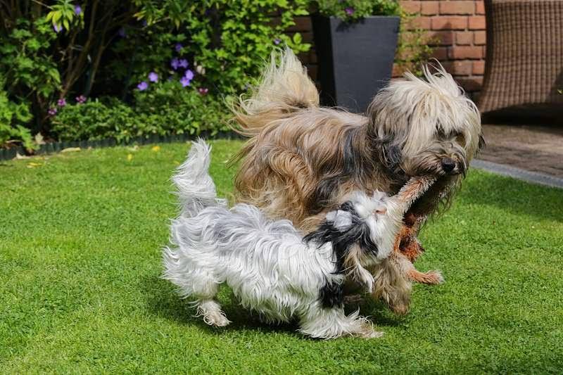 Biewer Yorkshire Terrier Lotta mit Tibet Terrier Chiru beim Toben im Garten